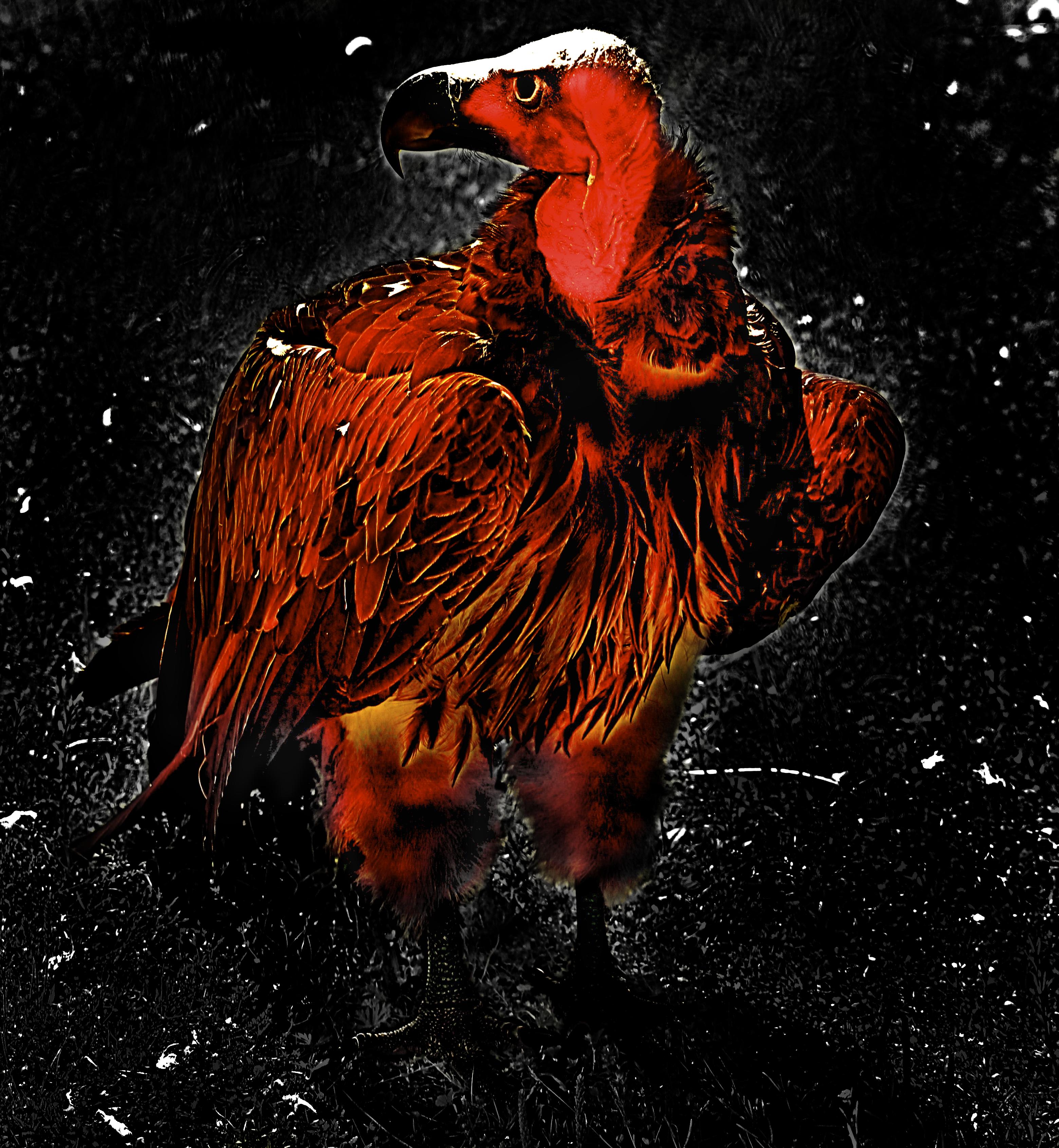 death chicken