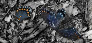 blue bugs